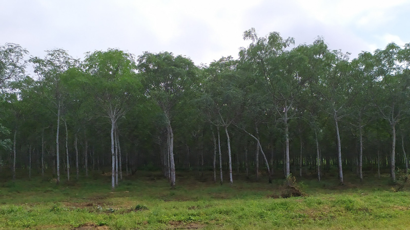 Forest of planted trees