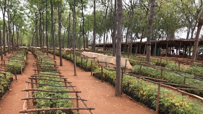 Hardwood trees planted in a tree farm in eastern Africa